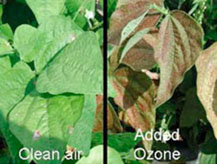 plants damaged by ozone